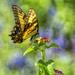 Eastern Tiger Swallowtail by kvphoto