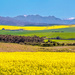 Road trip through the Canola fields. by ludwigsdiana