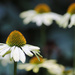 Last of the Coneflowers by phil_sandford