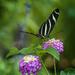 Zebra Longwing by k9photo