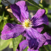 Purple Clematis by pcoulson