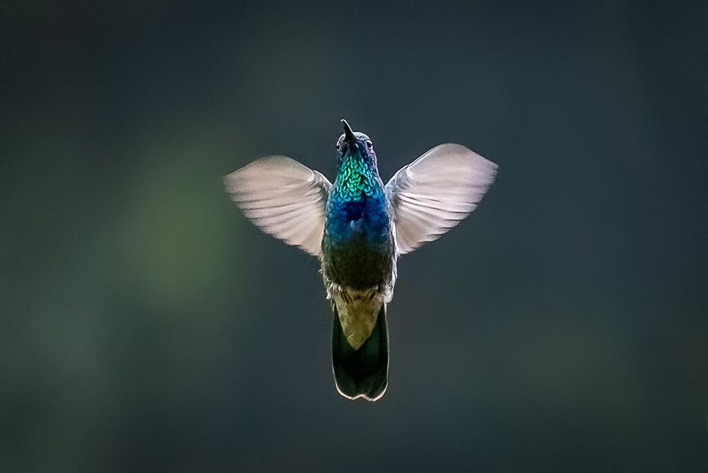 Mexican Violetear Hummingbird Angel by jyokota