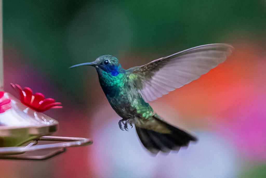 Mexican Violetear Hummingbird visiting  by jyokota