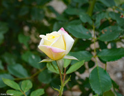 2nd Sep 2021 - A Rose posed