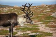 2nd Sep 2021 - Cairngorm Reindeer