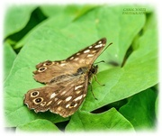 3rd Sep 2021 - Speckled Wood Butterfly