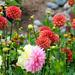 Dahlia Garden by seattlite