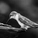 hummingbird in b&w