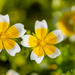 Limnanthes douglasii ( poached egg plant ) by elisasaeter