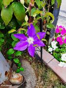 3rd Sep 2021 - Clematis vine flower