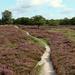 landscape with flowering heather by gijsje
