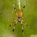 Banana Spider Waiting for it's Next Victim! by rickster549