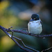 Kingfisher take 2