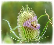 4th Sep 2021 - Teasel And Hoverfly