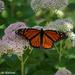 In My Butterfly Garden by falcon11