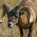 Ram Big Horned Sheep by cwbill