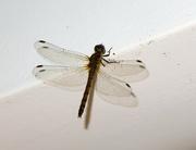5th Sep 2021 - Dragonfly