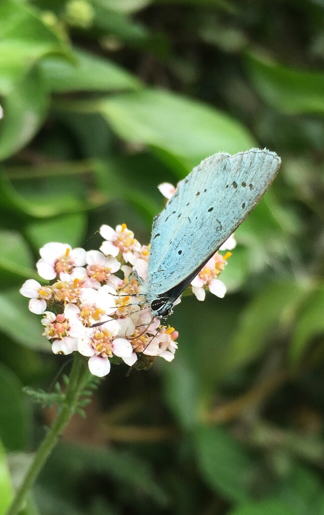 Common blue by pattyblue