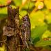 Eastern Lubber Grasshopper! by rickster549