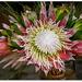 Protea... by julzmaioro