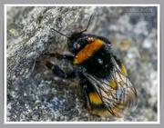 6th Sep 2021 - Sleeping Bumble Bee