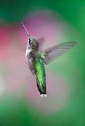4th Sep 2021 - Michael's Hummingbird for National Hummingbird Day