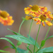 Last of the Sneezeweed by phil_sandford