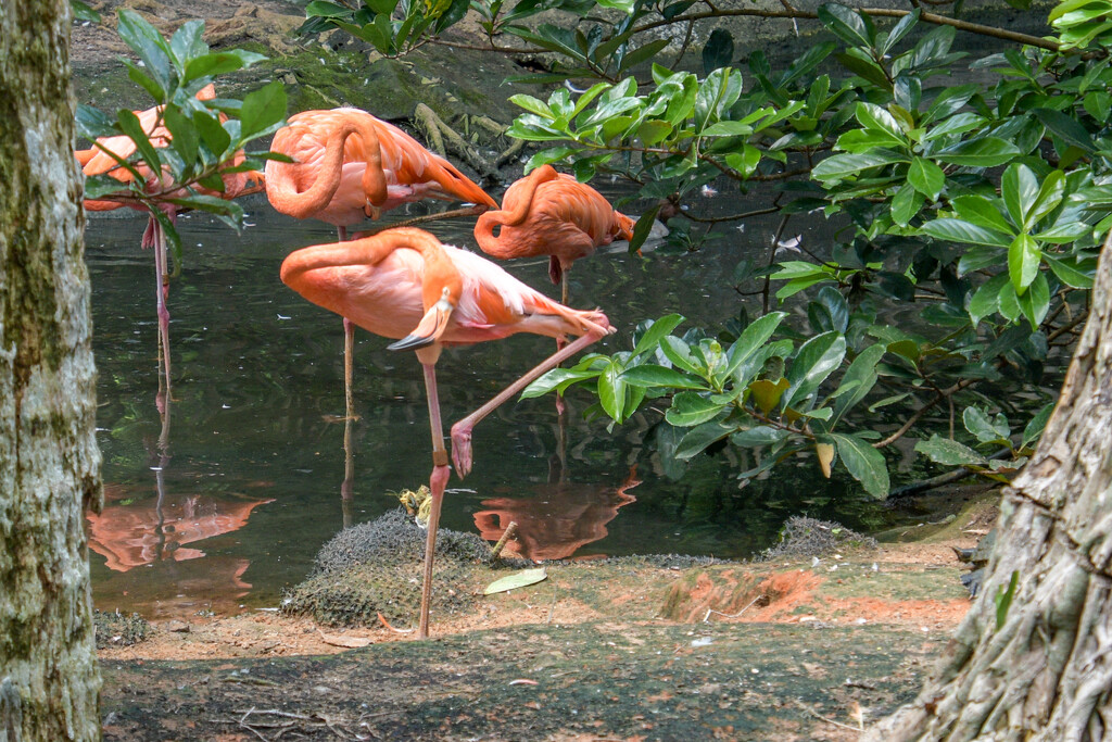 Flamingos by danette
