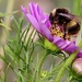 Gathering Pollen by carole_sandford