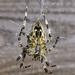 Garden Spider. by tonygig
