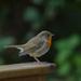 Newbourne Robin