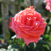 The Salmon Rose