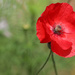 Last of the Red Poppies by phil_sandford