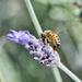 Busy As A Bee DSC_7652 by merrelyn
