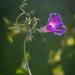 A lonely lantern  by haskar