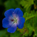 Another blue flower