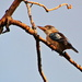 Yeah!!   Another Blue Winged Kookaburra by terryliv