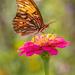 Gulf Fritillary beauty.   by dutchothotmailcom