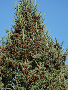 7th Sep 2021 - Pine tree is loaded