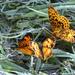 butterflies by francoise