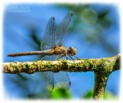 8th Sep 2021 - Dragonfly