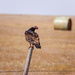 turkey vulture by aecasey