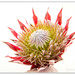 Hi-key Protea..