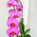 Orchid again by pamknowler