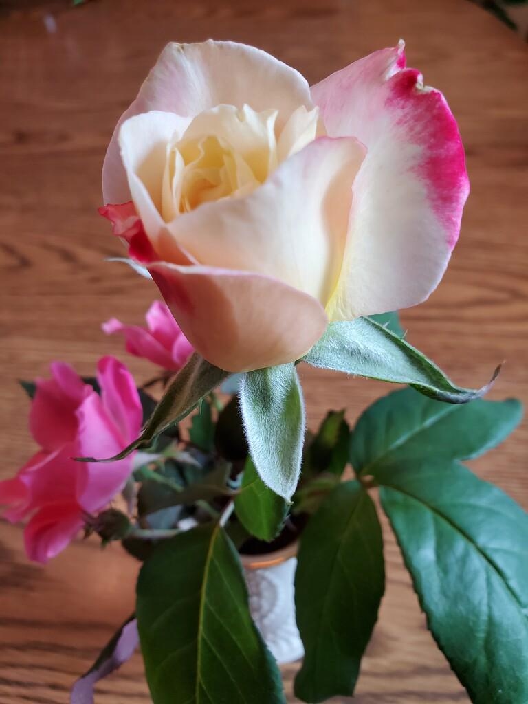 Rose by jb030958