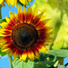 Sunflowers, continued by seattlite