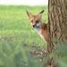 Hello there Little FOX by fayefaye