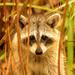 Rocky Raccoon Peeking Through the Bushes! by rickster549