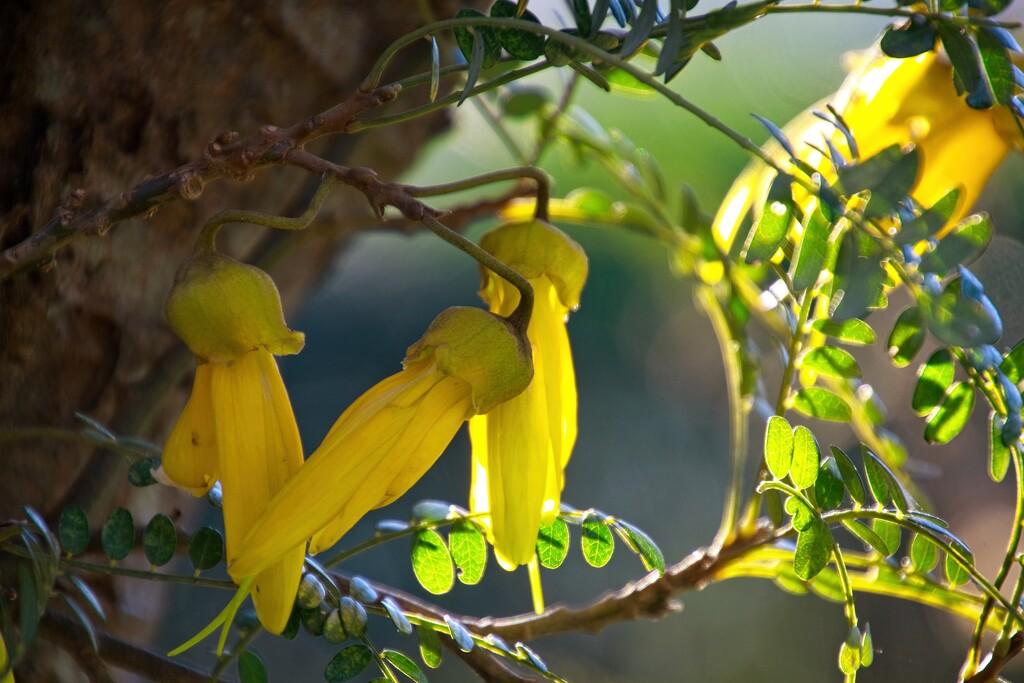 Kowhai yellow by kiwinanna