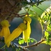 Kowhai yellow